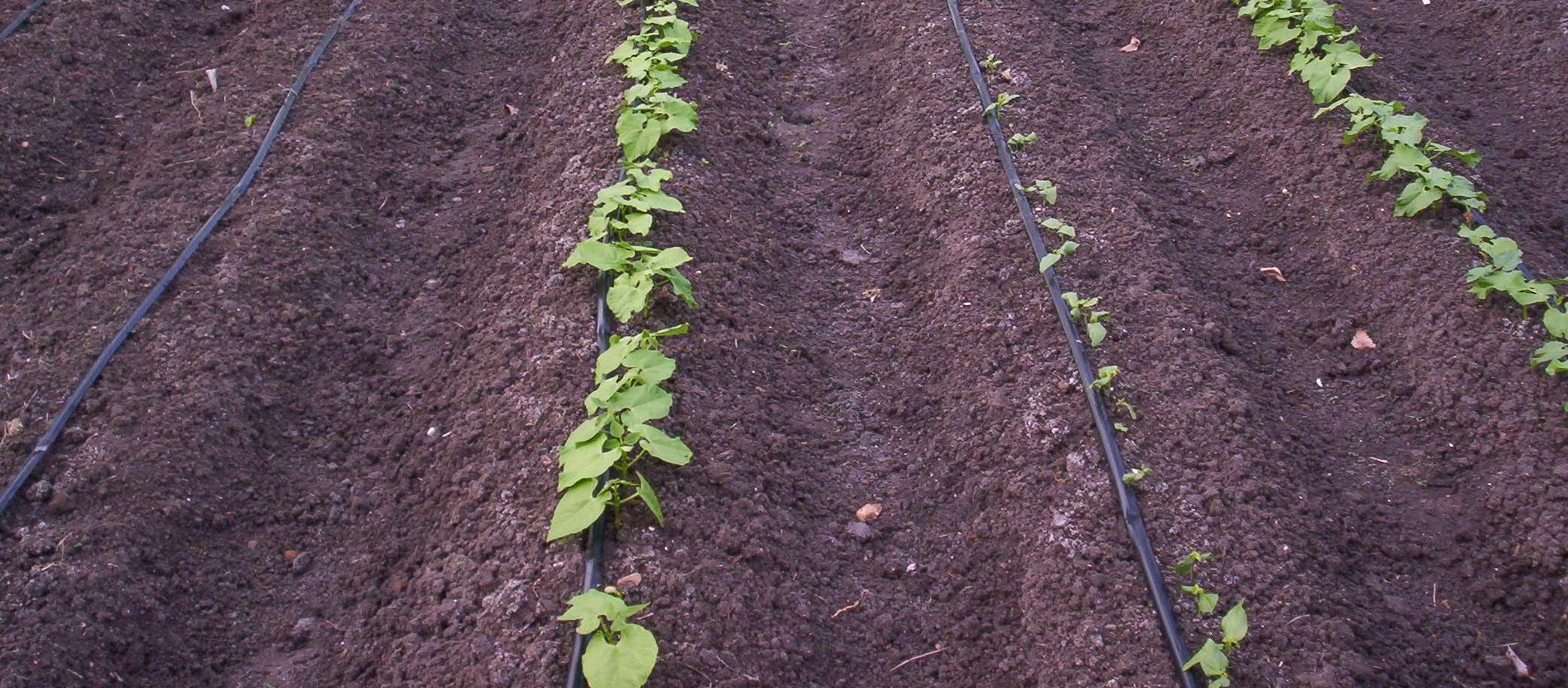 Drip-Irrigation-Use1